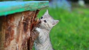 Poco Gray Kitten Play juguetón y funcionamiento en una hierba verde metrajes