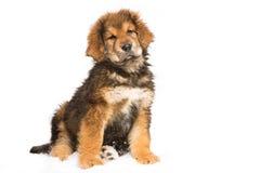 Poco guardia de seguridad - perrito rojo del mastín tibetano Imagen de archivo libre de regalías