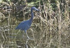 Poco Haron blu, sud-ovest Florida fotografia stock libera da diritti