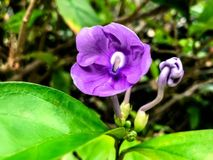 poco ieri oggi e domani fiorisce con le gocce di pioggia sulla a Fotografia Stock Libera da Diritti