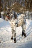 Poco inverno del puledro Fotografia Stock
