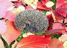 Poco istrice della foresta su un fondo delle foglie di autunno luminose Fotografie Stock