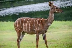 Poco kudu dall'Africa Immagini Stock Libere da Diritti