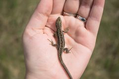 Poco lagarto europeo en mano femenina Agilis del Lacerta foto de archivo libre de regalías