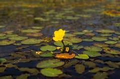 Poco lirio de agua amarilla foto de archivo libre de regalías