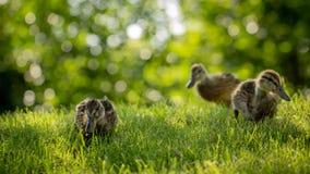 Poco los anadones salvajes camina en la hierba verde fotografía de archivo