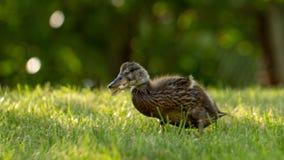 Poco los anadones salvajes camina en la hierba verde fotografía de archivo libre de regalías