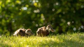 Poco los anadones salvajes camina en la hierba verde imágenes de archivo libres de regalías