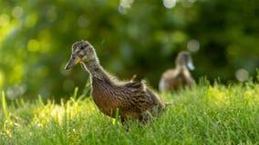 Poco los anadones salvajes camina en la hierba verde foto de archivo