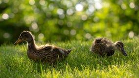 Poco los anadones salvajes camina en la hierba verde imagenes de archivo