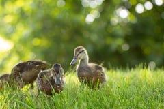 Poco los anadones salvajes camina en la hierba verde fotos de archivo libres de regalías