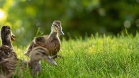 Poco los anadones salvajes camina en la hierba verde foto de archivo libre de regalías