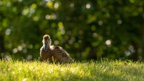 Poco los anadones salvajes camina en la hierba verde imagen de archivo