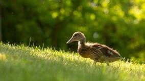 Poco los anadones salvajes camina en la hierba verde fotos de archivo