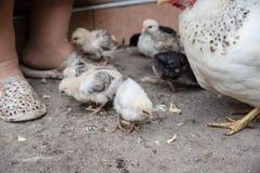 Poco los pollos come la alimentación en la yarda poultry imagen de archivo