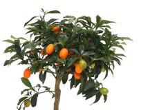 Poco mandarino Immagini Stock Libere da Diritti