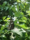 Poco mariposa negra en las hojas verdes en el jard?n imagenes de archivo