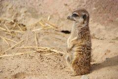 Poco meerkat Immagine Stock Libera da Diritti