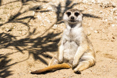 Poco meerkat se sienta comfortablemente en la arena Imágenes de archivo libres de regalías
