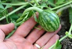 Poco melón verde Imagenes de archivo