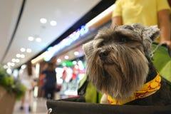 Poco mezcló la sentada feliz del perro del terrier de la raza en el carro del perro adentro foto de archivo libre de regalías