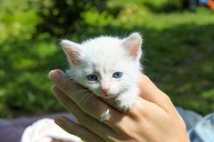 Poco milagro - gato mullido blanco imagenes de archivo