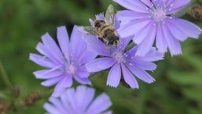 Poco mosca en los estambres de la flor almacen de metraje de vídeo