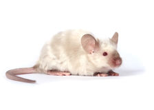 Poco mouse operato fotografie stock libere da diritti
