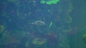 Poco natación del tiburón en el agua almacen de video