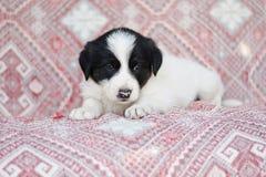 Poco negro blanco del perrito mullido lindo sin hogar del perro de la calle fotografía de archivo libre de regalías
