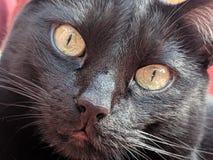 Poco observación del gato negro imagen de archivo