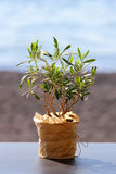 Poco olivo en un pote Foto de archivo libre de regalías