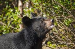 Poco oso en arbusto Foto de archivo