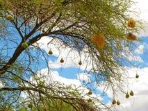 Poco pájaro enmascarado del tejedor (intermedius del Ploceus) jerarquiza en árbol del acacia de la espina del camello en Namibia  Imagen de archivo libre de regalías