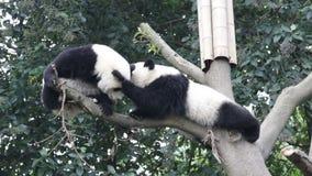 Poco Panda Cub a Chengdu, Cine stock footage