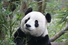Poco Panda Cub se está enfriando hacia fuera, China fotos de archivo libres de regalías