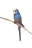 Poco pappagallo del budgie Fotografia Stock Libera da Diritti