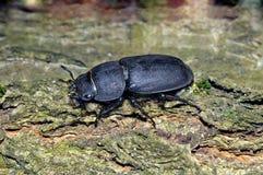 Poco parallelipipedus de Dorcus del escarabajo de macho foto de archivo
