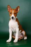 Poco perrito de Basenji Fotografía de archivo