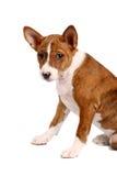 Poco perrito de Basenji, color brindle Fotografía de archivo libre de regalías