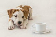Poco perrito de Staffordshire Terrier americano a la taza de café/de té en un fondo blanco foto de archivo