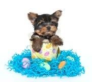 Perrito de Pascua Yorkie imagen de archivo libre de regalías