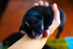 Poco perrito negro que duerme en sus brazos fotos de archivo