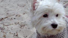 Poco perro blanco en el beatch metrajes