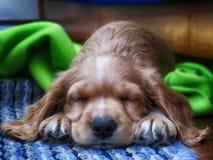 Poco perro de cocker spaniel del oro que duerme en una alfombra azul fotos de archivo libres de regalías