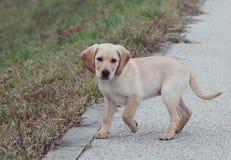 Poco perro de Labrador Fotografía de archivo libre de regalías