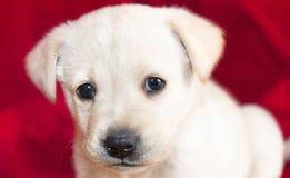 Poco perro de Labrador Foto de archivo libre de regalías