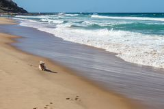 Poco perro de Westie descansa sobre la arena cerca de la línea de agua mientras que los whitecaps ruedan hacia la orilla con los  Fotos de archivo libres de regalías