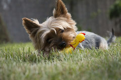 Poco perro de Yorkshire que pone en la hierba y que mastica el juguete chillón del pollo Fotos de archivo libres de regalías