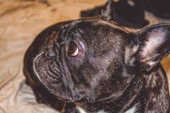 Poco perro del color negro con los ojos preciosos y los oídos grandes Bozal arrugado pedigrí Raza de Kan Corso, dogo francés pet fotografía de archivo libre de regalías